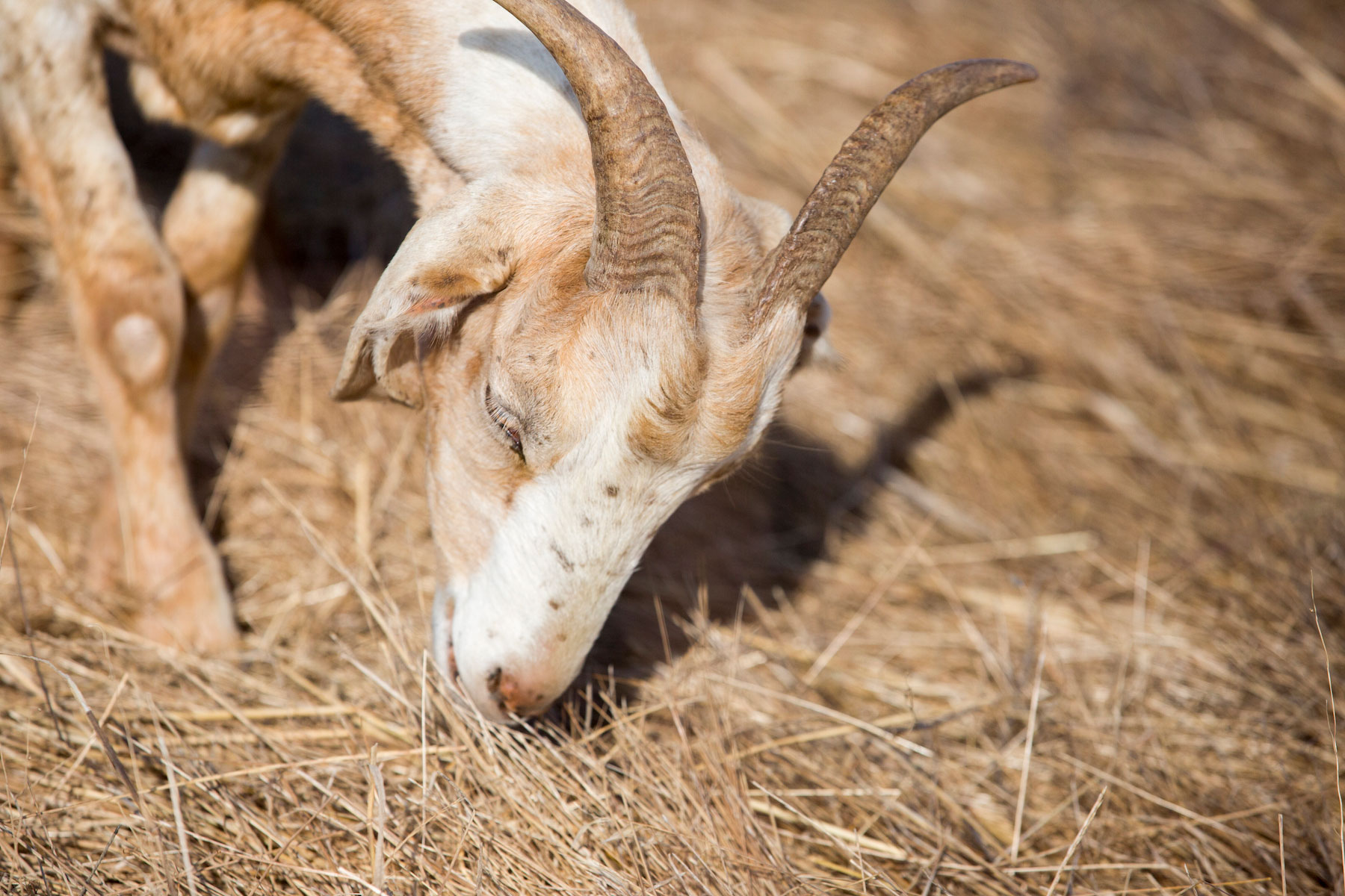 Ruminations about goat